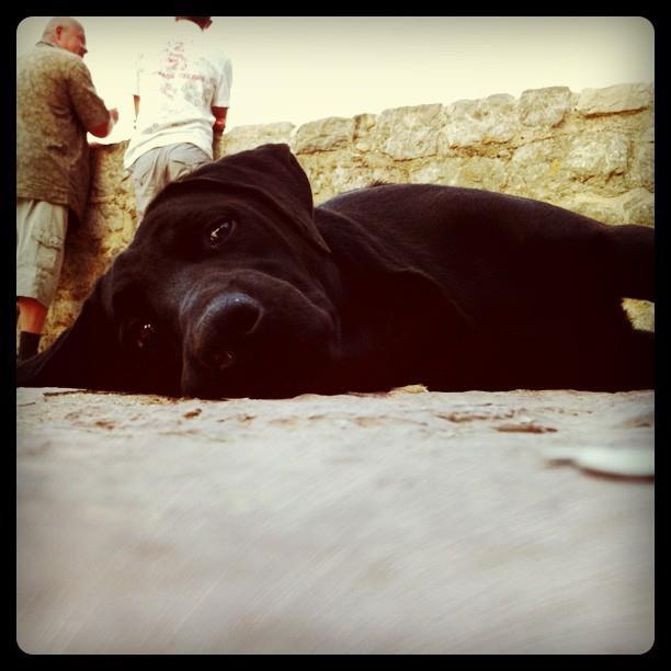 Шотланская собака
