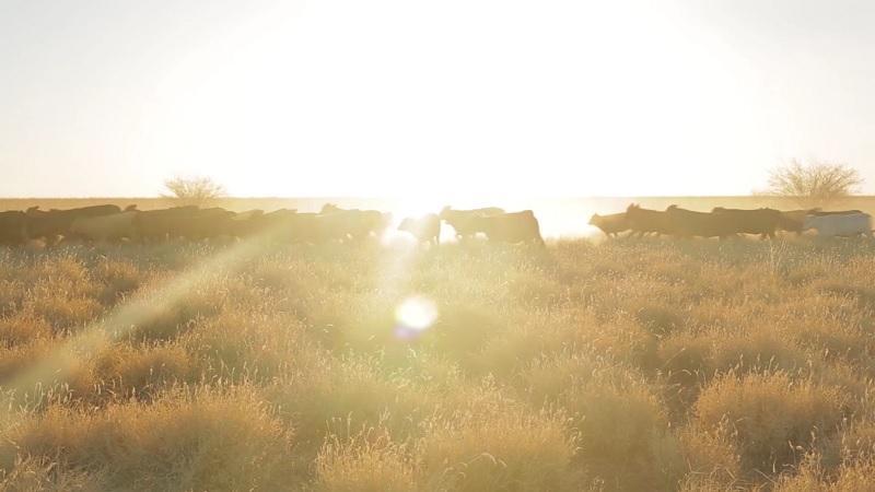 Australian Agricultural Companyпоказывает путь говядины — от коровы к столу
