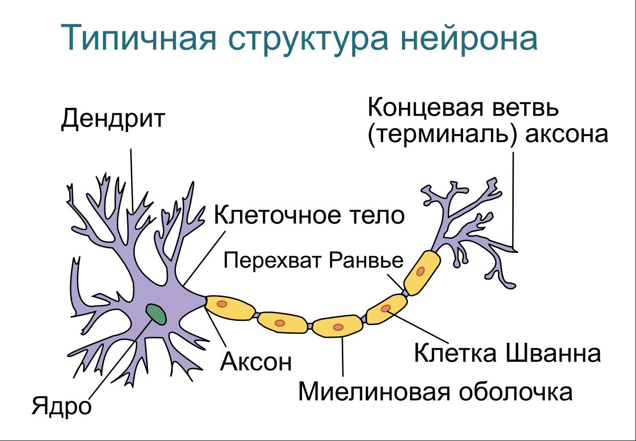 Базовый элемент нейросети — нейрон